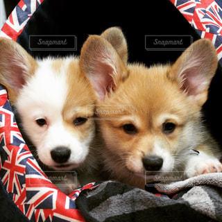 コーギー子犬の写真・画像素材[2345395]