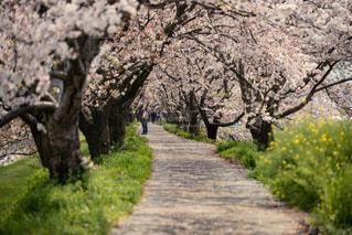 桜ロードの写真・画像素材[2318870]