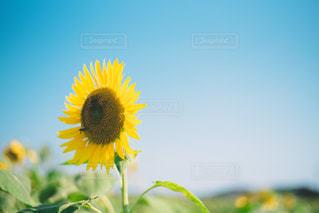 sunflowerの写真・画像素材[2334874]