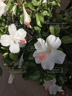 ハワイのハイビスカスの写真・画像素材[2321715]