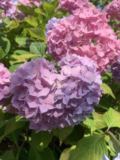 紫陽花のクローズアップの写真・画像素材[2319268]