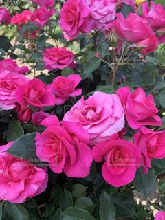 ピンクの花でいっぱいの写真・画像素材[2319328]