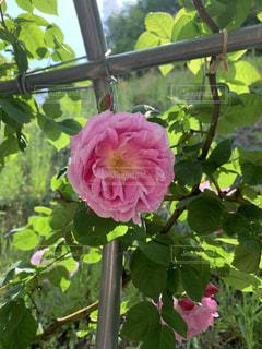 ピンク色の薔薇の写真・画像素材[2323115]