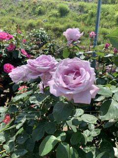 紫の薔薇の写真・画像素材[2330013]