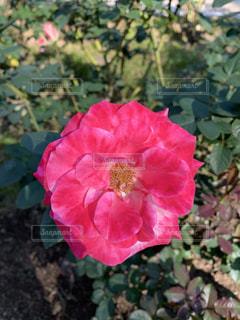 薔薇の写真・画像素材[2697692]