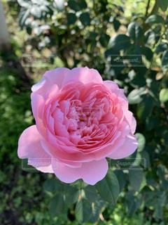 ピンク色の薔薇の写真・画像素材[2697708]