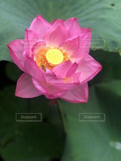 蓮の花の写真・画像素材[2320697]