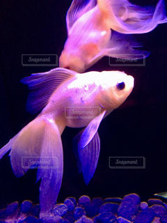金魚の写真・画像素材[2321421]