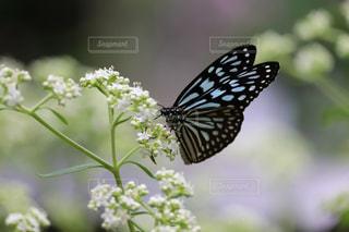 蝶の写真・画像素材[2321568]