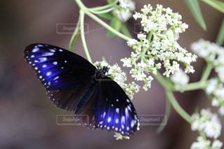 蝶の写真・画像素材[2321570]