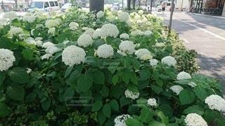 御池通りに咲く白いアジサイの写真・画像素材[2330130]