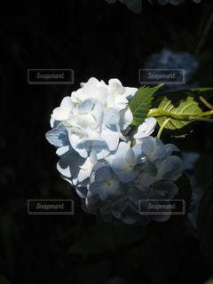 紫陽花の写真・画像素材[2323399]