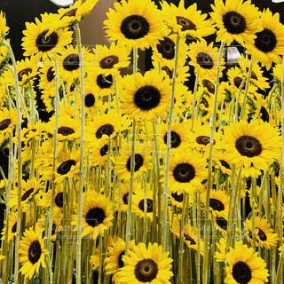 たくさんの向日葵の写真・画像素材[2324269]