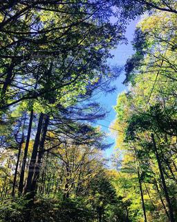 森の中の大きな木の写真・画像素材[2498407]