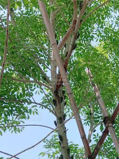 庭の木に大量のセミの写真・画像素材[2334414]