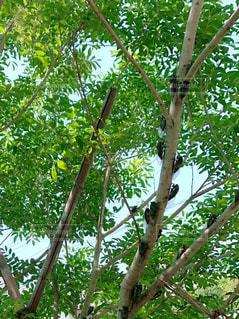 庭の木に大量のセミの写真・画像素材[2334502]