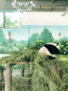 パンダの写真・画像素材[2438578]