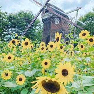 ひまわりと風車の写真・画像素材[2325587]