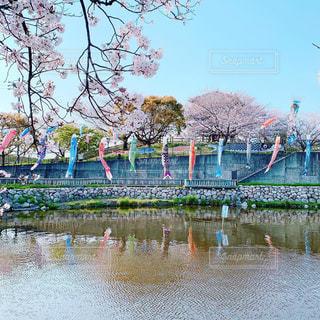 こいのぼりと桜の写真・画像素材[2326256]