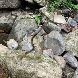 蛇の写真・画像素材[2337843]