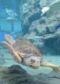 水の下で泳ぐカメの写真・画像素材[4146929]
