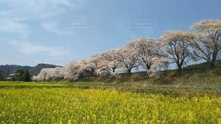 桜と菜の花のコラボの写真・画像素材[2327673]