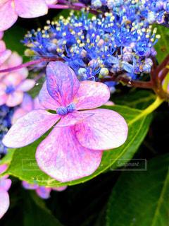 紫陽花の写真・画像素材[2273334]