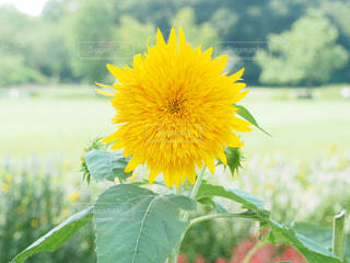 緑の葉を持つ黄色い花の写真・画像素材[2330992]