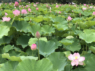 ポンッと朝イチに咲く蓮の花の写真・画像素材[2330281]