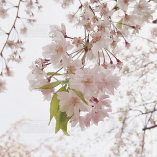 春 - No.337423
