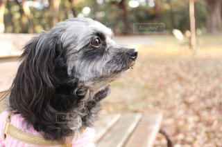 遠くを見つめる犬の写真・画像素材[934025]
