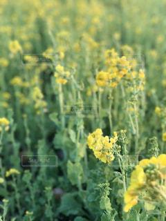 フィールド内の黄色の花の写真・画像素材[971130]
