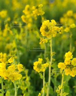菜の花の写真・画像素材[971131]