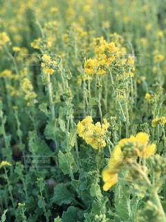 菜の花畑 - No.1008207