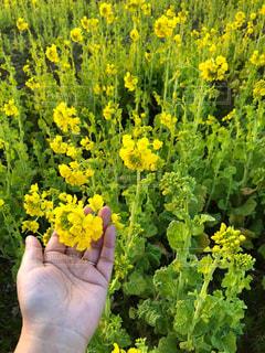 黄色の花。菜の花の写真・画像素材[1008208]
