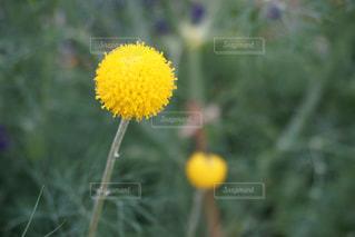 黄色の花の写真・画像素材[1170974]