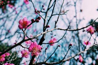 ピンクの梅の花の写真・画像素材[1171033]