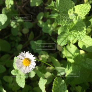 緑の葉と白色の花の写真・画像素材[1171038]