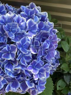 紫陽花の写真・画像素材[1223961]