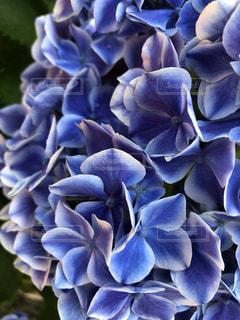 紫陽花の写真・画像素材[1223962]
