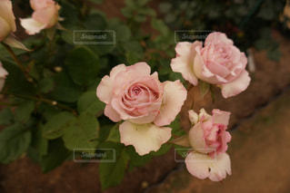 ピンクの薔薇の写真・画像素材[1283186]