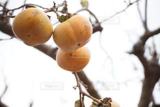 枝に柿の写真・画像素材[1553314]