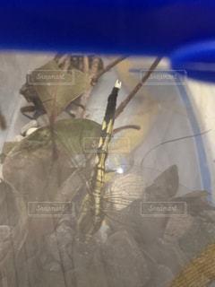 捕えられたコオニヤンマの写真・画像素材[2335758]