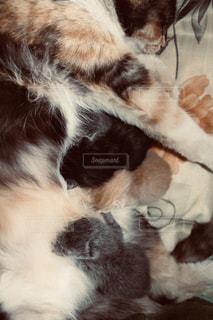 ベッドに横たわる茶色と白い猫の写真・画像素材[2332252]