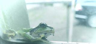 強風の中 隠れてるカエルの写真・画像素材[2430588]