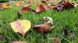 草の上のカエルの写真・画像素材[2332045]