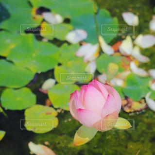 蓮の花③の写真・画像素材[2333104]