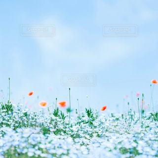 青空のネモフィラの写真・画像素材[2333353]