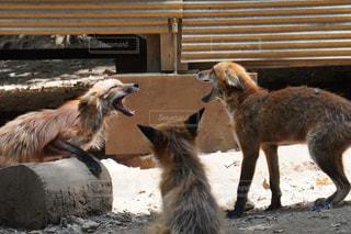 喧嘩する狐の写真・画像素材[2333493]