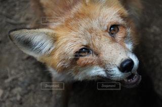カメラを見ている狐のクローズアップの写真・画像素材[2333507]
